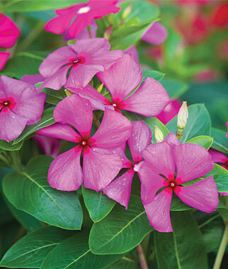 Merry Go Round Grape Vinca Seeds And Plants Annual