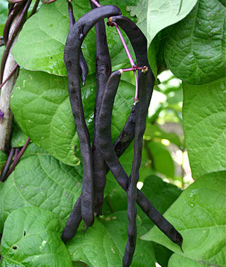 Heirloom Seeds Vegetable Seeds And Plants Bean Purple