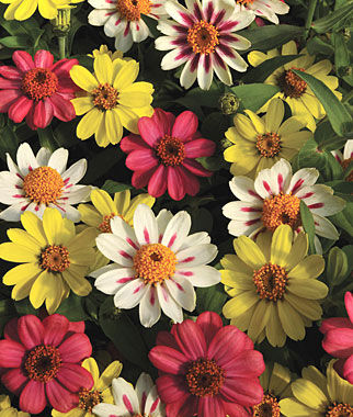 Zahara Raspberry Lemonade Mix Zinnia Seeds And Plants
