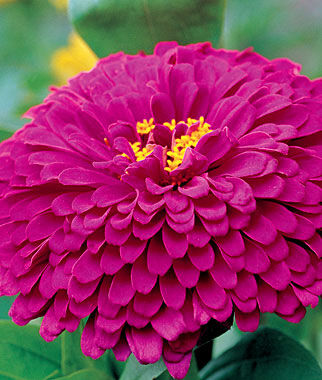 Purple Prince Zinnia Seeds And Plants Annual Flower