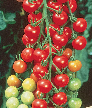 Super sweet 100 hybrid tomato seeds and plants vegetable for How to grow cherry tomatoes from seeds