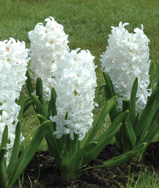 how to look after hyacinth bulbs indoors