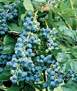 Attractive And Productive Southern Highbush Variety