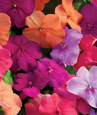 how to grow impatiens walleriana from seed