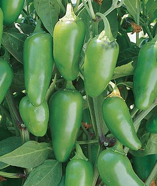 Hot Jalapeno M Pepper Seeds And Plants Vegetable Gardening At Burpee.com