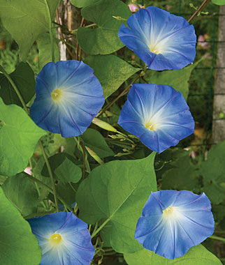 heavenly blue morning glory seeds and plants annual. Black Bedroom Furniture Sets. Home Design Ideas