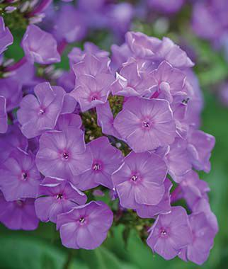 Blue Paradise Phlox Seeds and Plants, Perennnial Flowers ...