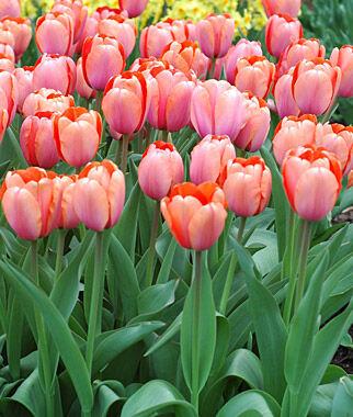 Tulip Apricona Tulip Bulbs At Burpee Com