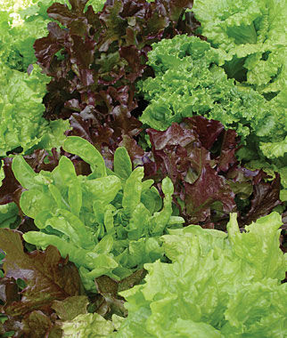 Looseleaf blend lettuce seeds and plants vegetable gardening at for How to cut lettuce from garden