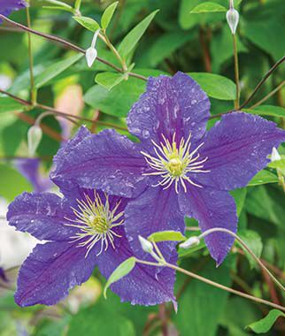 jackmani purple clematis seeds and plants flowers at. Black Bedroom Furniture Sets. Home Design Ideas